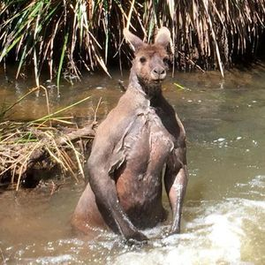 THIS is the bizarre moment a gardener spotted a threatening 'bodybuilder' 100kg kangaroo bathing its bulging biceps in an Australian creek.