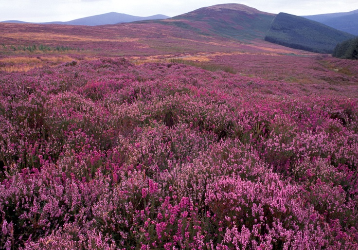 Heather Clad Hills In Summer The Wicklow Mountains Are
