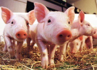 Macabro corso di formazione per medici militari, sparare ai maiali per vedere l'effetto che fa