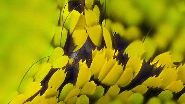 """La Stampa - Le ali di farfalla, uno """"show"""" al microscopio"""