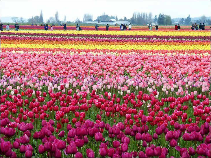 Tulips in the Holland country side.... SO gorgeous!