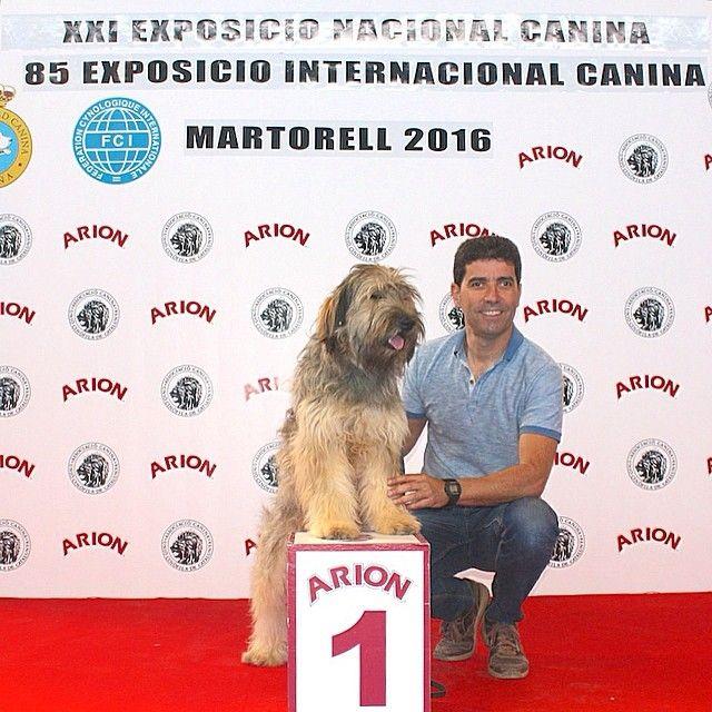 """Instagram media gosdatura_delriugost - El nostre """"Trau"""" premiat com Excel.lent 1er; Millor Jove; Millor de Raça; i 2on Millor entre totes les races espanyoles en l'Exposició Canina Nacional i Internacional de Martorell, d'aquest cap de setmana. Magnífics resultats !  Our """"Trau"""" has been awarded Excellent 1st; Best Young; Best of Breed; and 2nd among all the Spanish Breeds, at Martorell (Barcelona) National & International Dog Show this week end. Very good results !  #gosdatura…"""