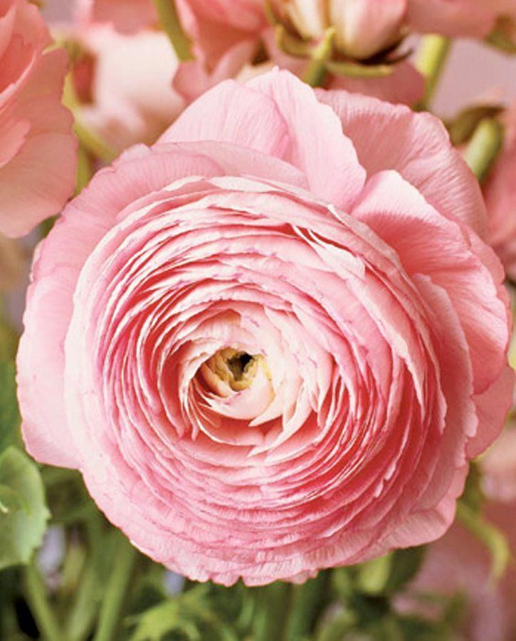 The Ranunculus Resembles The Rose And Peony With It S Densely Petaled Bloom But Comes In A Wider Range Bloom Where Youre Planted Flower Close Up Peach Flowers