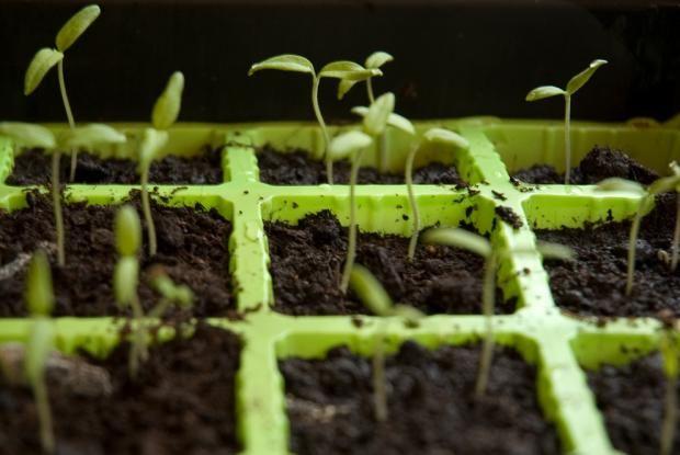 Le B.A.-BA des semis Éclairage La lumière est souvent insuffisante pour les semis dans les maisons; l'intensité lumineuse y est de 10 à 100 fois moindre qu'à l'extérieur. Une installation comportant de 2 à 4 tubes fluorescents (120cm) de 40 watts, placés à une distance de 15 à 30cm au-dessus des semis et allumés de …