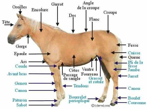 Partis du corps d'un poney et d'un cheval pour le galops 2