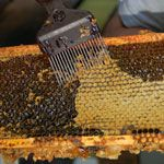 simple guide to harvesting honey if you have an extractor.