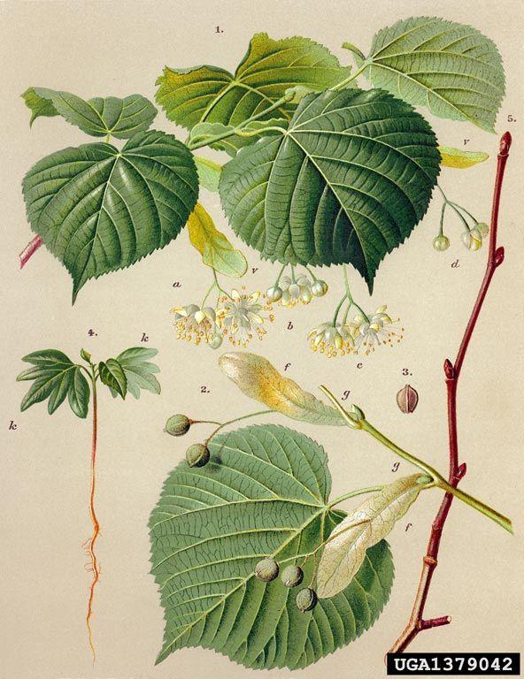 Tilleul (Tilia Europaea)