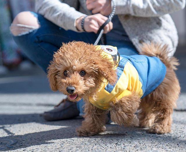 ウキウキお散歩😆 . . 📸: #a7Riii 24-70GM #トイプードル#トイプー#トイプードル部#トイプードル🐩#トイプードル男の子#トイプードル写真部#愛犬#犬#愛犬家#愛犬🐶#愛犬写真#ファインダー越しの私の世界#わんちゃん#ペット #写真好きな人と繋がりたい #一眼レフ#いぬバカ部#いぬ#戌年#犬バカ部 #犬バカ#いぬバカ#フォロバ#赤ちゃん#子犬#dog#cutepetclub#animal#flf