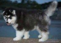 Jual Alaskan Malamute Puppies  Jual 6 ekor Alaskan Malamute puppies 5 betina & 1 jantan Turunan import Tulang kasar , anatomi tubuh bagus Stambum dalam proses Lincah , aktif , lucu – lucu Obat cacing teratur Nafsu makan bagus Vaksin KHUSUS DOG LOVER LOKASI : BANDUNG DOB : 15 april 2014 Hubungi : 081322657711 (No SMS)