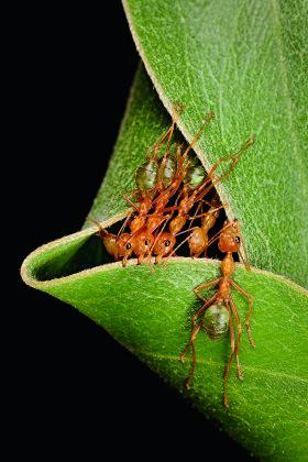 Green Tree Ant / Waeaver Ant / Weberameise