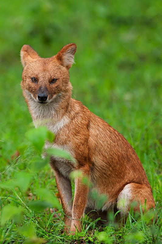38 best Dhole Dog images on Pinterest Wild dogs Wild animals