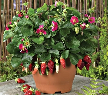 Here's a new Strawberry plant offered by White Flower Farm.  It's called Strawberry Berries Galore Rose.  Note the deep rose colored flowers..  something new for this years edible landscape.  It's an ideal container plant for the patio and strawberries need pickin every 3-4 days.  It produces all season and that's the best thing of all!