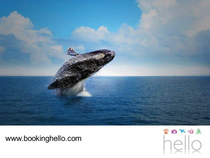 VIAJES PARA JUBILADOS TODO INCLUIDO AL CARIBE. El avistamiento de ballenas jorobadas en la Bahía de Samaná, es una de las experiencias más espectaculares que puedes vivir durante tus vacaciones en el Caribe dominicano. Dos mil ballenas, aproximadamente, llegan a reproducirse a las cálidas aguas del Océano Atlántico. La temporada inicia el 15 de diciembre y en Booking Hello te invitamos a comenzar a planear tus vacaciones a este lugar, adquiriendo tu pack all inclusive. #HelloExperience