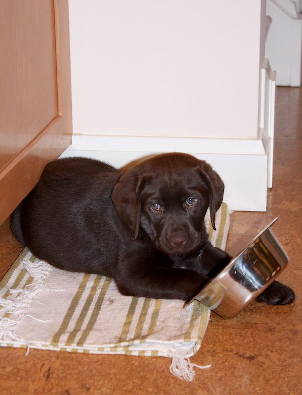 Adorable Chocolate Labrador Puppy Photos. Click through to see 21 cute lab puppies!  http://wearwagrepeat.com