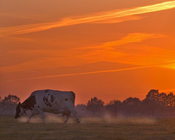 Deze koe bij Silvolde komt de damp uit de neusgaten als hij rustig graast tegen de in een donker oranje gloed opkomende zon. Netherlands