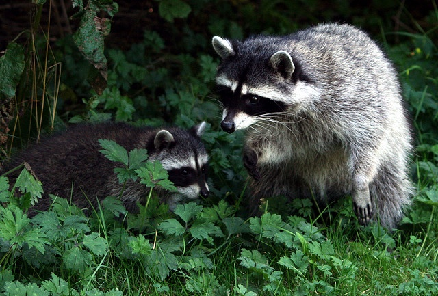 Raccoons ~ See these every day & night around here.  Love watching them!