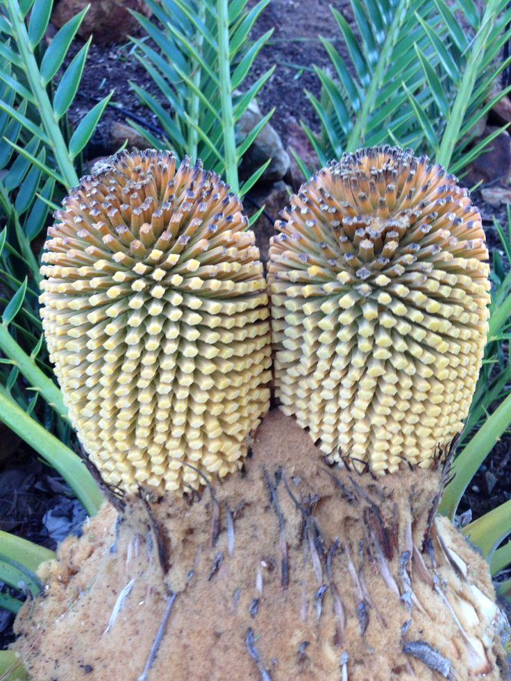 Cycad Encephalartos natalensis male cones