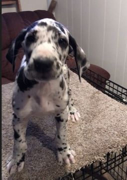 Litter Of 5 Great Dane Puppies For Sale In North Webster In Adn