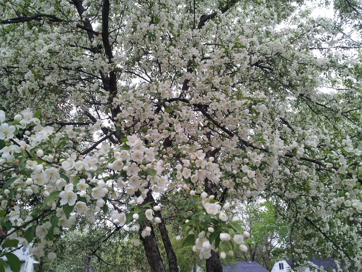 This is a beautiful tree! It is a Spring Snow Crabapple, this variety does not produce fruit, it has a rounded to oval shape and will get between 20'-25' tall and 15'-20' tall.
