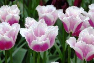 Tulipán Siësta 2