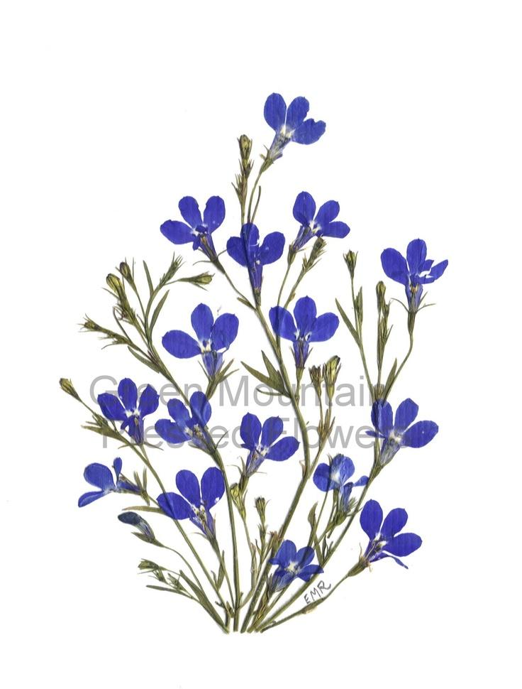 Blue lobelia - handmade, original pressed flower art. Available as an original, print or card.