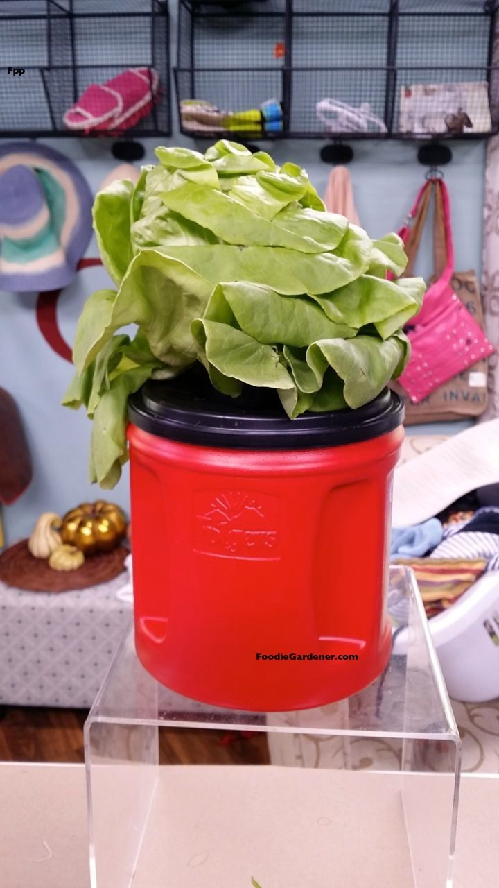 GROW LETTUCE IN WATER, NO SOIL! Red coffee container repurposed as simple hydroponic planter for lettuce. Kratky Method Shirley Bovshow's Foodie Gardener blog