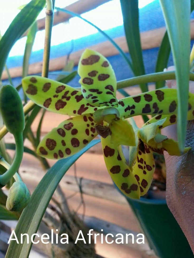 Anselia Africana orchid