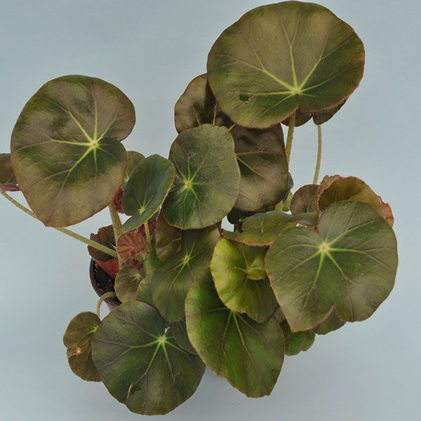 Begonia Erythrophylla Beef Steak Steve S Leaves In 2020 Begonia Beef Steak Room With Plants