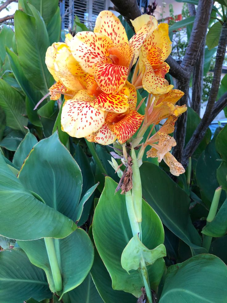 Canna lily #Flowering #Perth #January