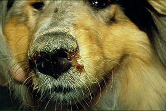 Pet Dog Health:What Every Dog Owner Needs to Know About Distemper in Dogs