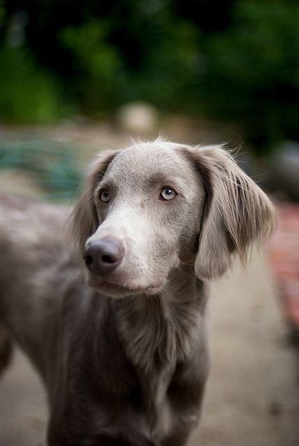 Long-haired weim - by calakmul - Jim Henry