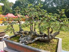 Some great looking Bonsai trees on display in a park in China. Displays like this are often arranged and the exhibits can be in place for a few days or som