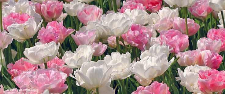 Tulip Pink Cloud™ | Colorblends of Tulips Bulbs for Sale | COLORBLENDS