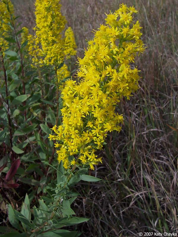 31 best native raingarden images on pinterest rain garden photos and information about minnesota flora showy goldenrod erect cylindric cluster up to 12 fandeluxe Images