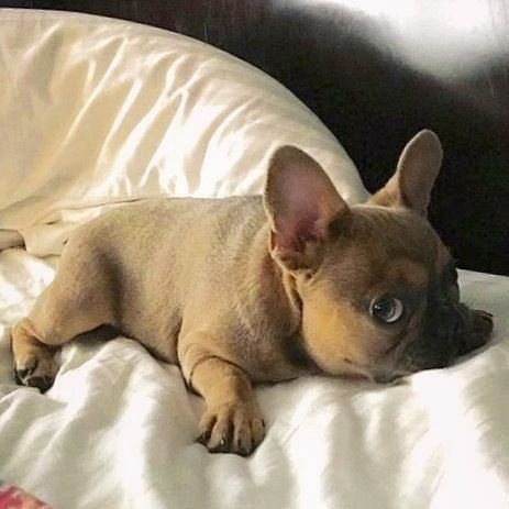 What's up?  (Cr: @?)  #funny_frenchie #frenchie #frenchies #frenchies1 #frenchiegram #frenchiepuppy #frenchielove #frenchielife #frenchiesociety #frenchiesofig #frenchieoftheday #frenchiebulldog #frenchiestagram #frenchiesoverload #frenchbulldog #frenchbulldogs #frenchbulldogpuppy #frenchbulldoglove #frenchbulldoglife #frenchbulldoglovers #frenchbulldogsofinstagram #frenchbulldogofinstagram #frogdog #batpig #bully #bullys #bulldogfrances #bulldogfrancese