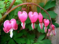 Coeur de Marie : une vivace d'exception pour l'ombre