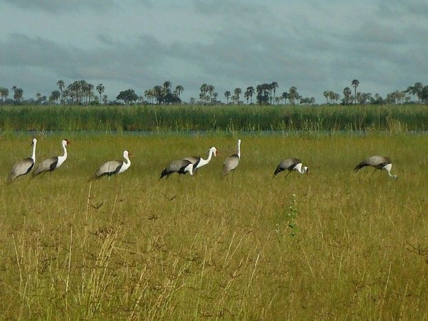 The Critically Endangered wattled crane is seen is healthy numbers in Botswana's Linyanti #safari
