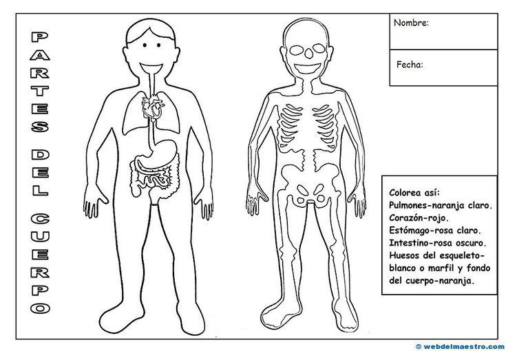 Partes del cuerpo humano-2