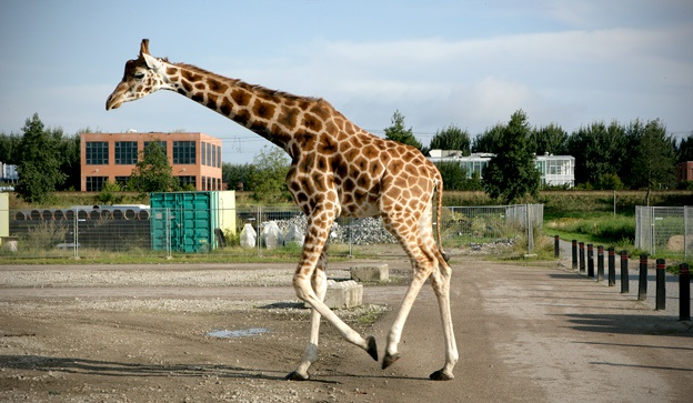 Giraffe op SITE2F7 tijdens filmopnames New Marshlands (2009) van Frank Koolen.© Gert Jan van Rooij, Museum De Paviljoens