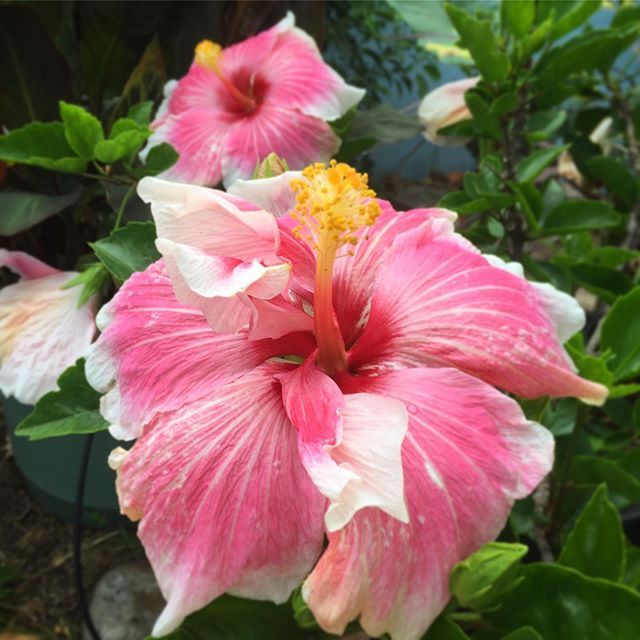 Mandarin Wind Hibiscus Hibiscus Pretty Flowers Tropical Garden