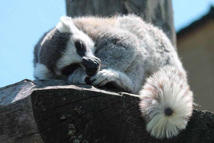 Lemur, Sleep, Animal, Lemurs, Nature, Close-Up