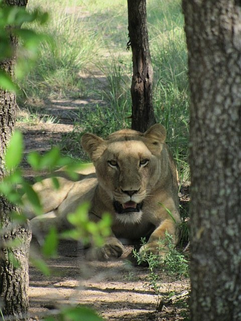 A female lion of the Southern Pride rests in the shade after an impala lunch.  Sabi Sabi, South Africa.  Feb 2012.