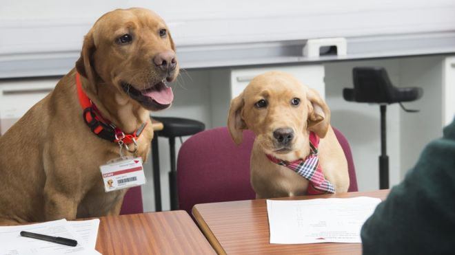 """Prospective vet students faced a surprising interview panel when they applied to study in Edinburgh. Simba, Tia and puppy Fern helped create a """"tension-free"""" atmosphere in the recruitment room.   Three Labradors joined Edinburgh Napier University academics interviewing hopefuls vying for a place on a popular veterinary nursing course."""