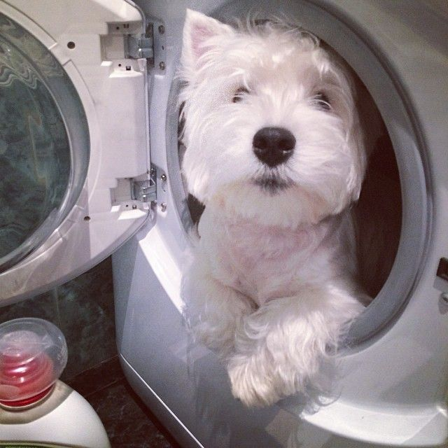 ❤️️️Cutest Dogs ~ Westie ~ So now you know why I'm so white☺️
