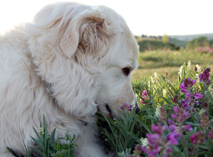 Maremma sheepdog smelling flowers I LOVE my dogs Heidi and Bella...... no if I could only get some chickens.....