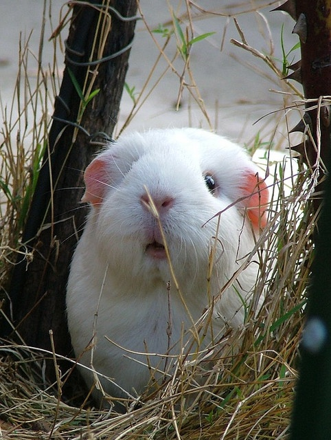Well it's winter. Make sure your pets have shelter or are brought in. It's not only humans who feel the cold. Thanks for keeping your pets safe, Here's a cute guinea pig in what looks like a winter garden playing around.