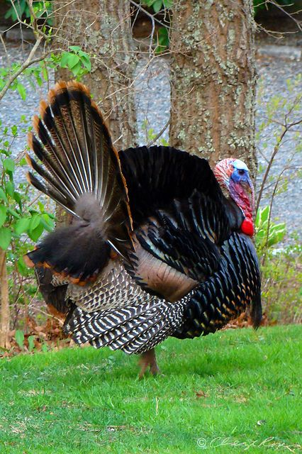 Wild Turkey displaying * Rook - not wild; that's farmbred for eating, see breastbone