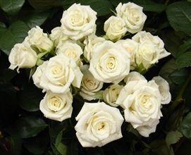 Majolika White - Spray Rose - Roses - Flowers by category | Sierra Flower Finder