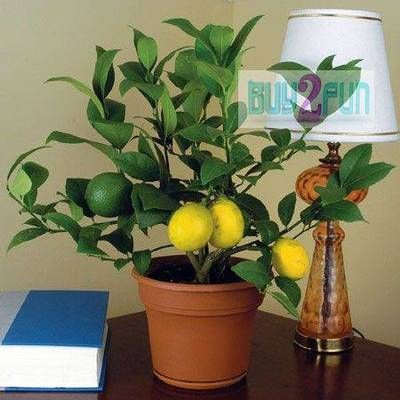Meyer lemons have a reputation as a great indoor houseplant and do well in a large container.  The container will keep it small.      It's one of the most productive container fruit trees.  It grows well in full sun or part shade, W or  SW exposure is best.  Put it outdoors when freezing conditions are over and bring it in the house when frost begins.