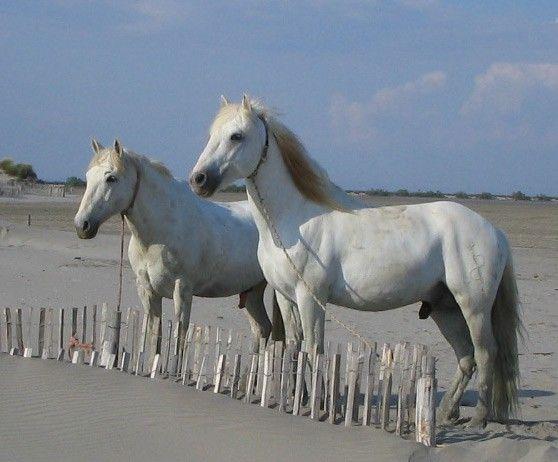 Huts Cacharel - photo gallery Camargue horses